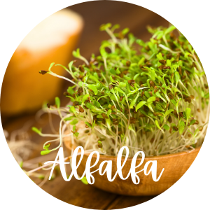 alfalfa sprouts in bowl
