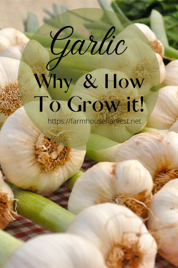 garlic how to