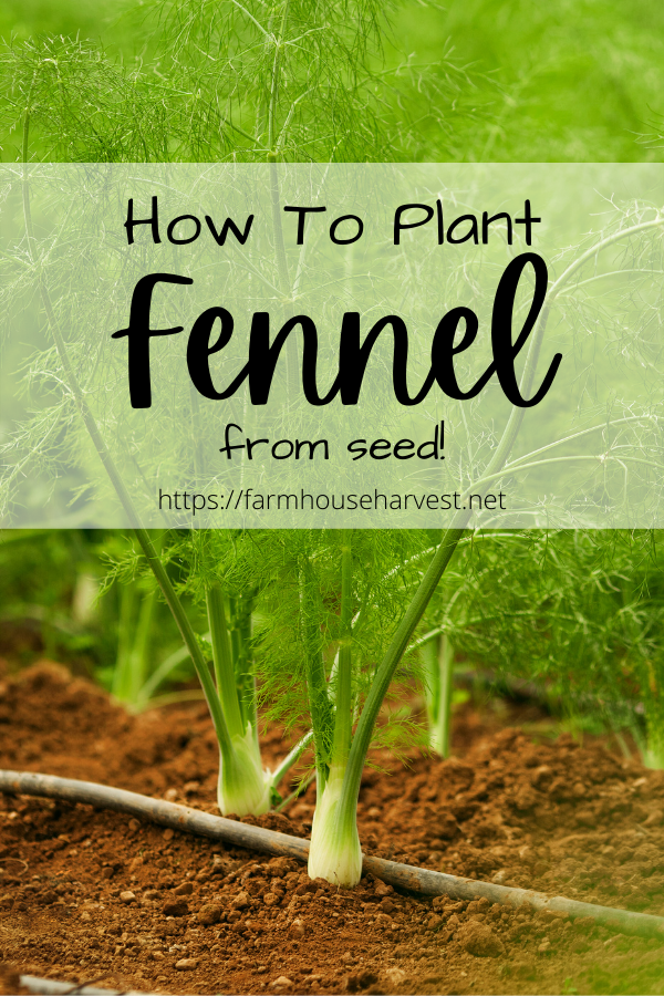 fennel plants growing in dirt and text