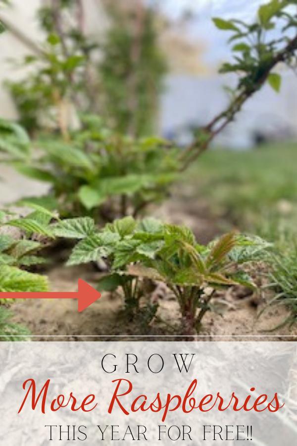 raspberries growing in dirt