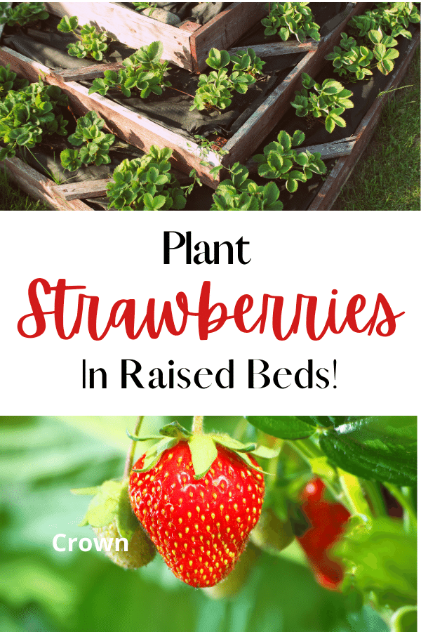 planters strawberries and text