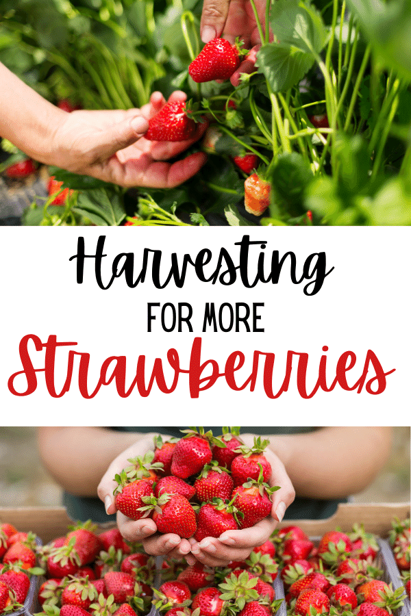 Learn how to grow strawberries the easy way! Get more tasty strawberries with these simple steps!