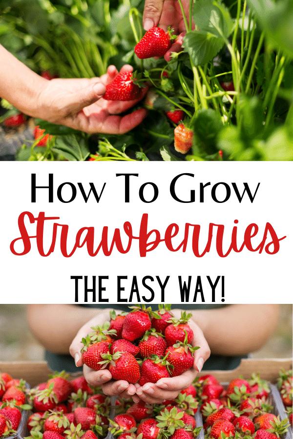 picking straberries