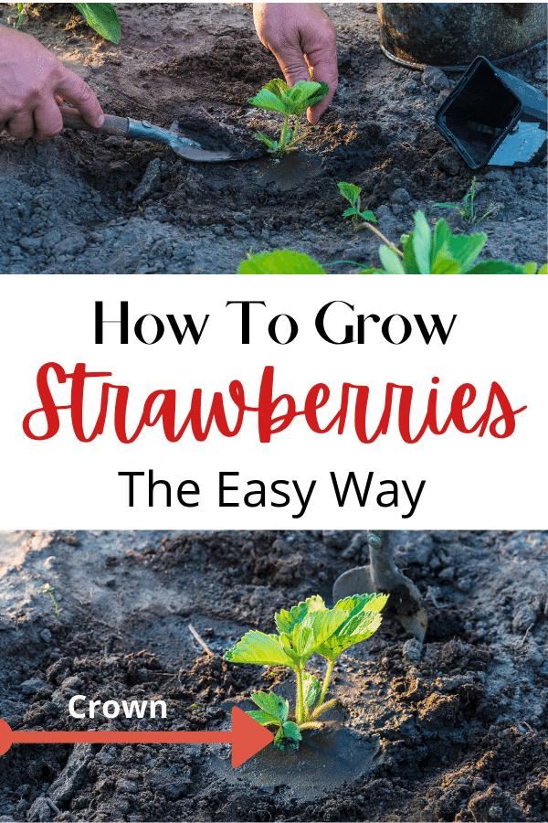 baby strawberry starts in dirt