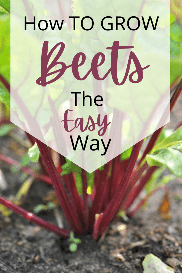 Beets growing in the soil and text