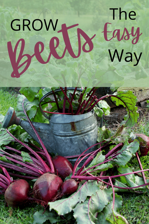 Beets in the garden and a watering can with text