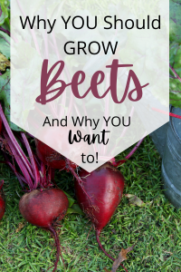 home grown beets