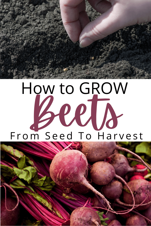 beet seed being planted and text with full grown harvested beets at bottom